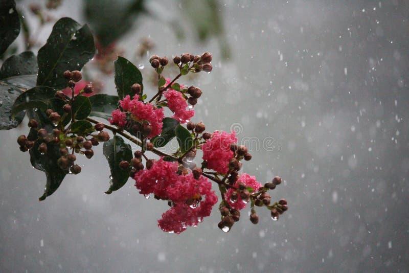 Rose sous la pluie image libre de droits