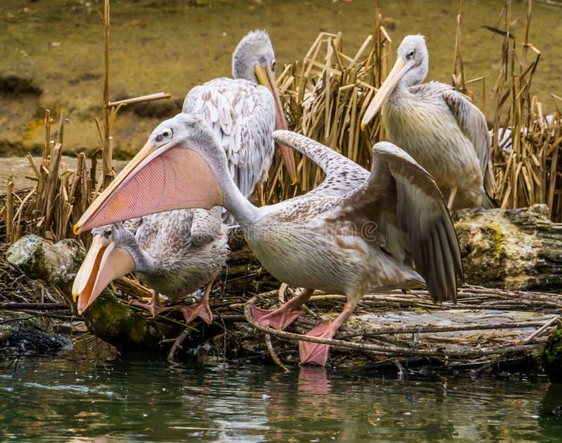Rose a soutenu le pélican se tenant sur le côté de l'eau et répandant ses ailes, l'oiseau prêt pour décollent, portrait de famill photographie stock