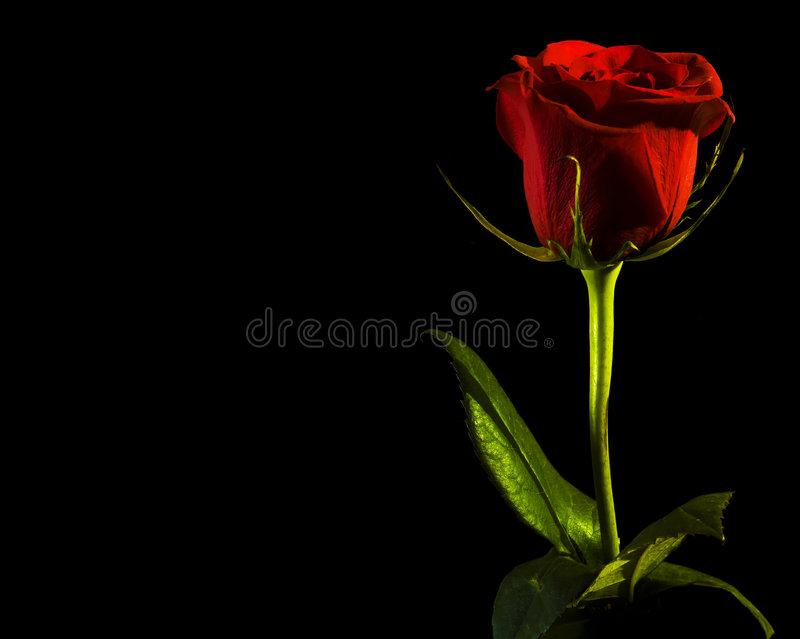 Rose, space for text royalty free stock images
