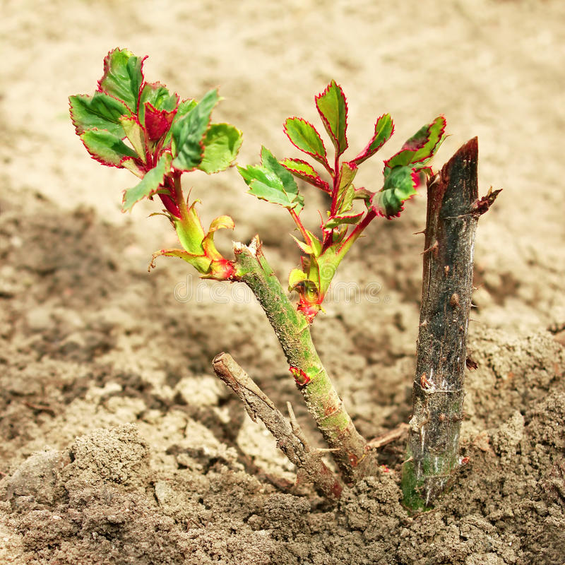 Rose sprouts in spring stock photography