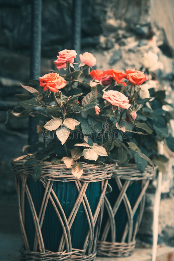Rose squisite in vaso di fiore sulla parete fotografie stock