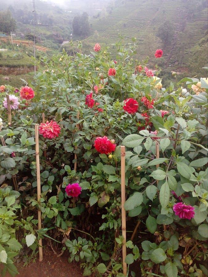 Rose Sri Lanka imagen de archivo