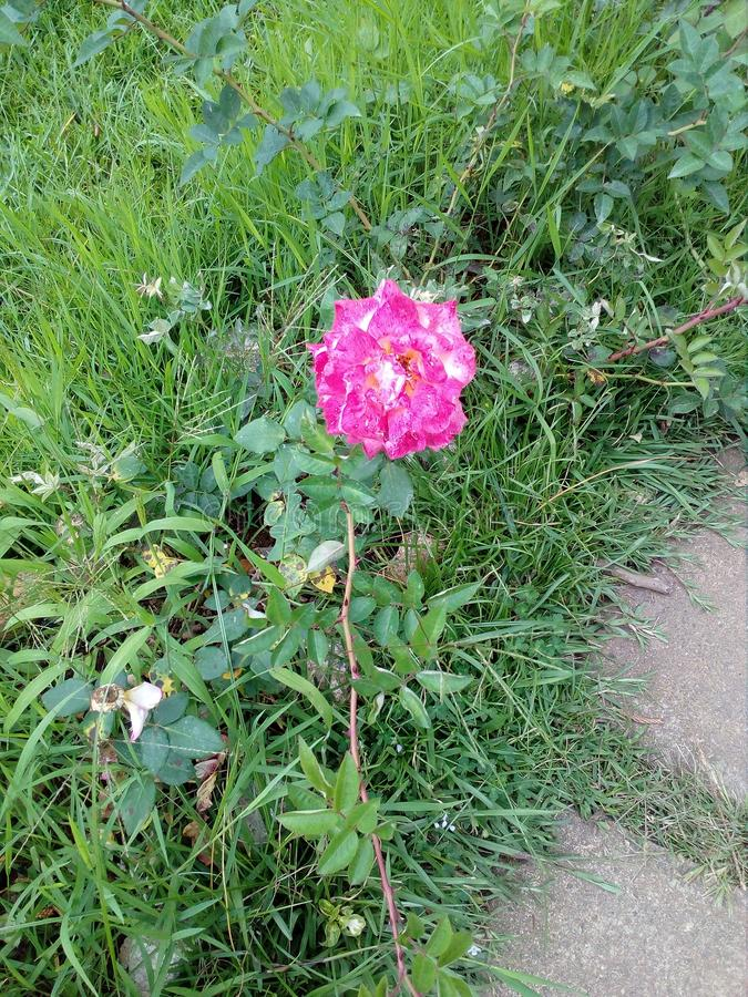 Rose sri lanka royalty free stock image