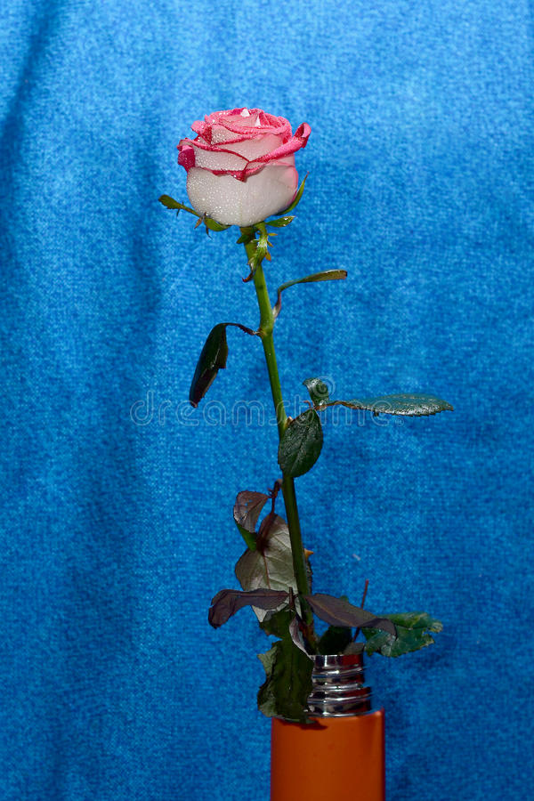 Rose on a stem in a vase stock photos