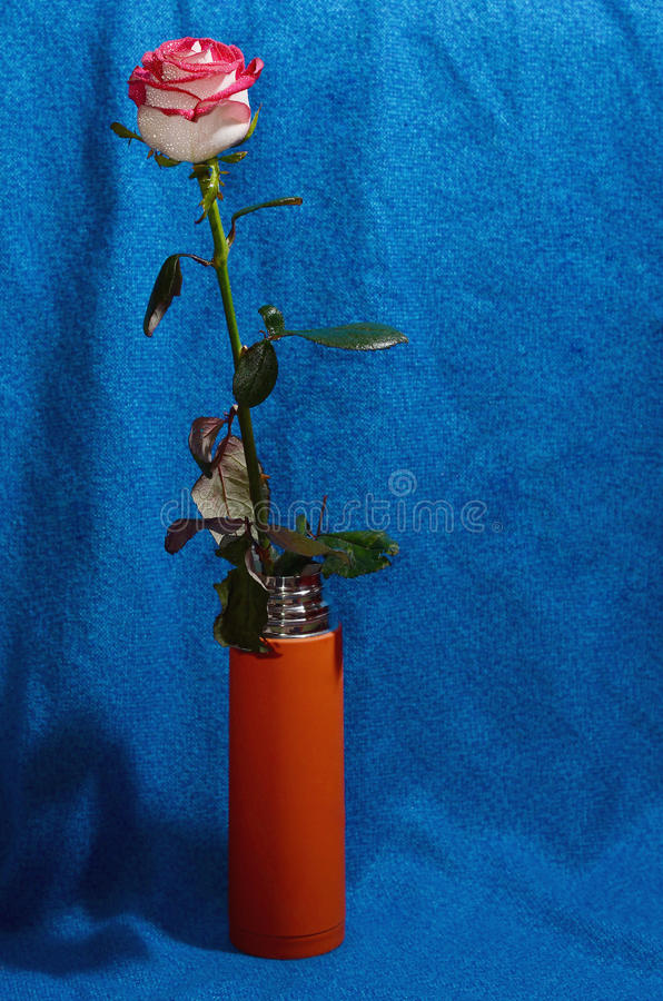 Rose on a stem in a vase stock photography