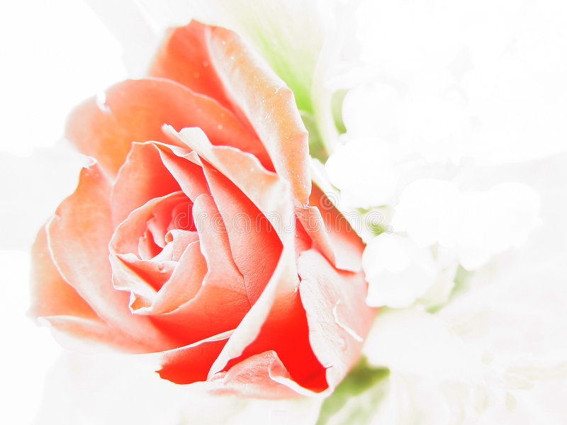 Download Rose study stock photo. Image of valentin, rose, over, pink - 4874