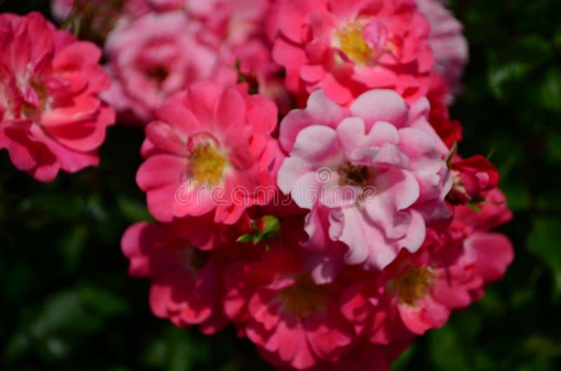 Rose stupefacente belle sull'isola di Nessebar Bulgaria immagine stock
