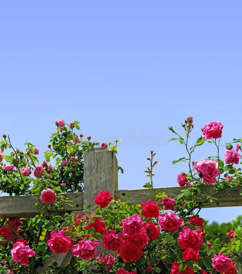 Rose su una rete fissa immagini stock