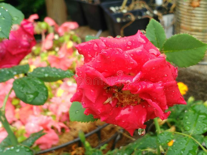 Rose after summer rain royalty free stock image