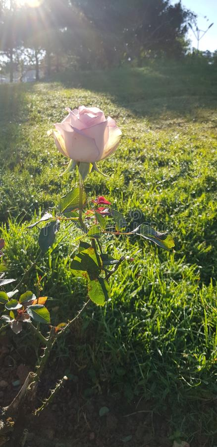 The rose in the sun royalty free stock photo