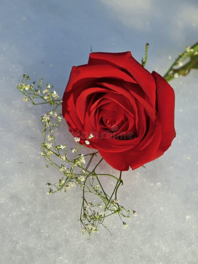 Rose sur la glace photos libres de droits
