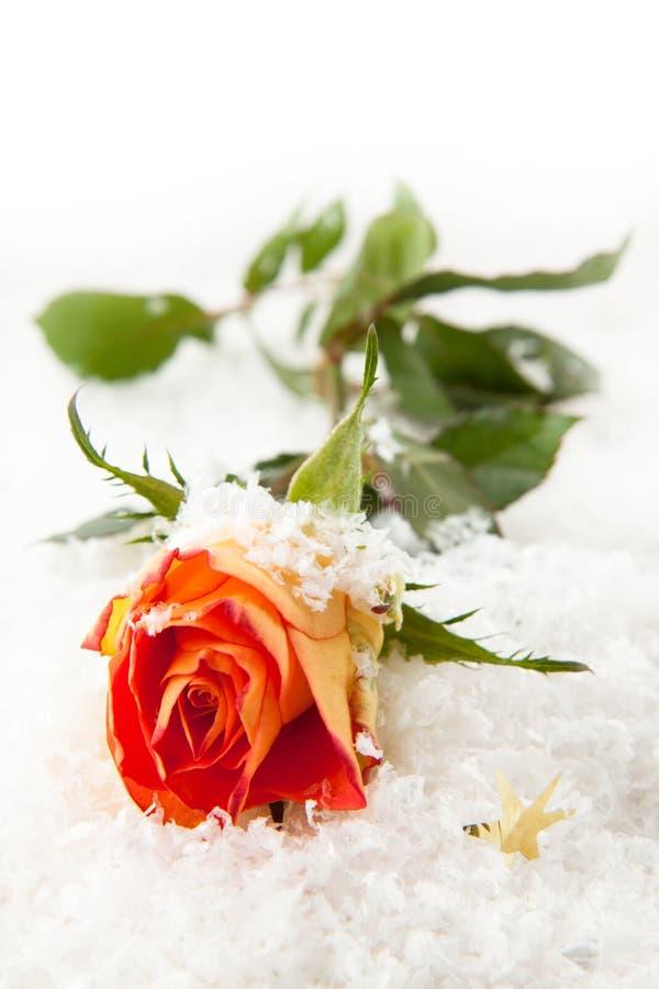 Rose sur la neige photographie stock libre de droits
