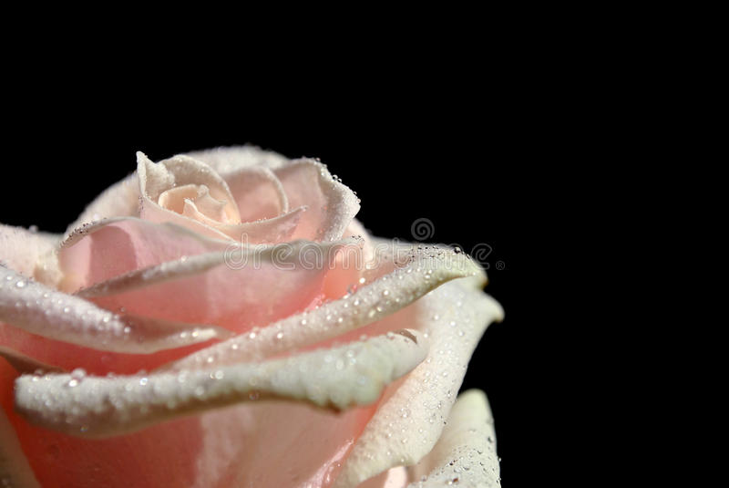 Rose sur le noir photo stock
