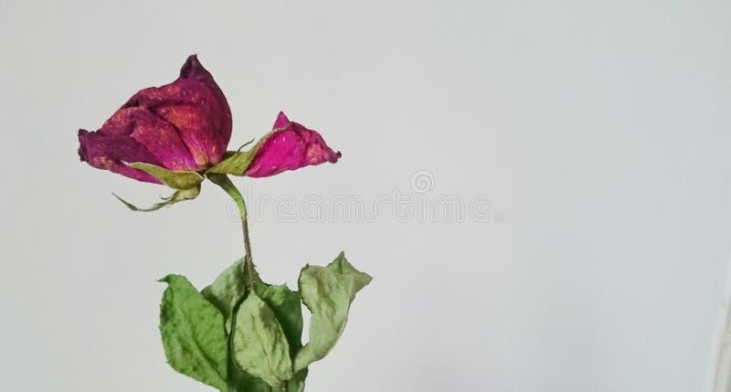 rose suszone obrazy royalty free