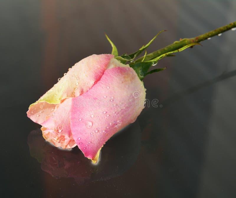 Rose, symbol of appreciation stock photos