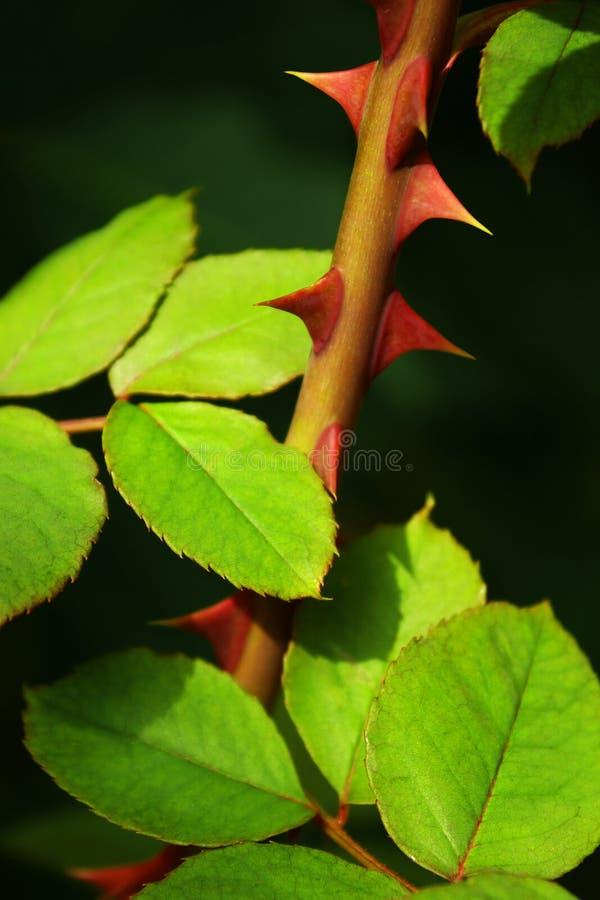 rose taggar royaltyfria foton
