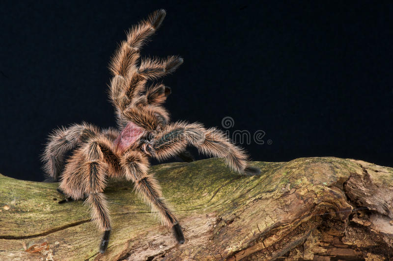 Rose tarantula. The Chilean rose tarantula (Grammostola rosea), also known as the Chilean flame tarantula, Chilean fire tarantula or the Chilean red-haired stock photography