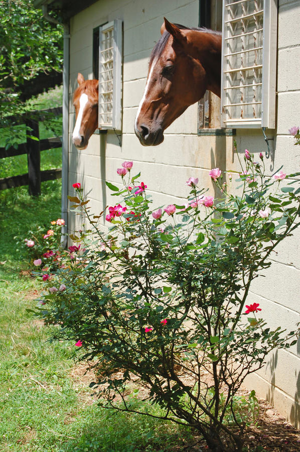 Rose Temptation-Horses in stalls stock images