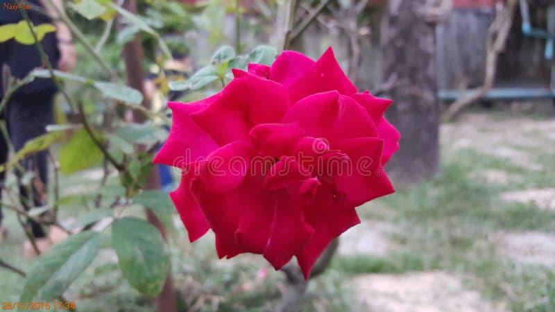 Rose thaïlandaise image libre de droits