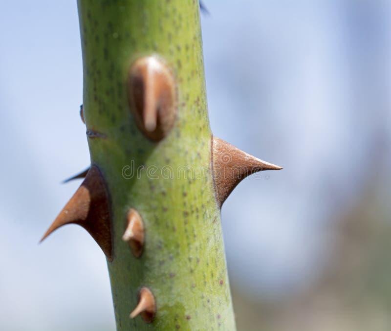 Rose Thorn stock photos