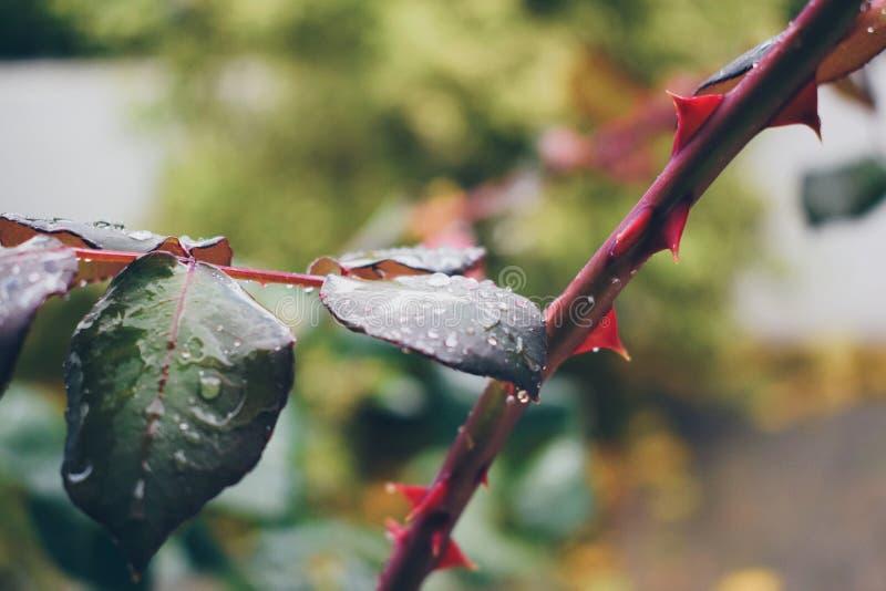 Rose Thorns immagine stock libera da diritti