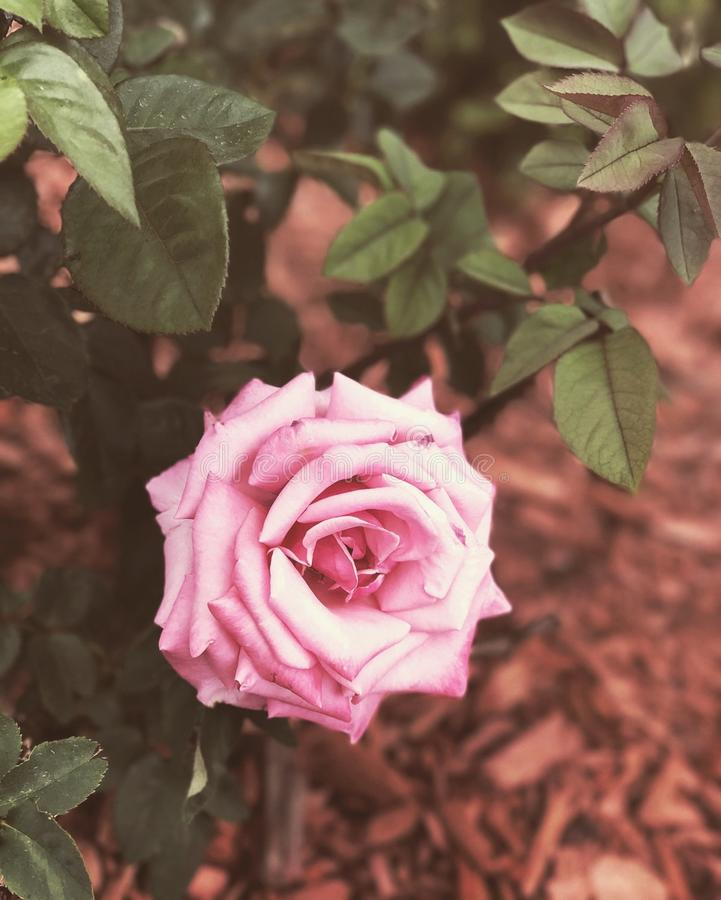 A Pretty Pink Rose stock photos