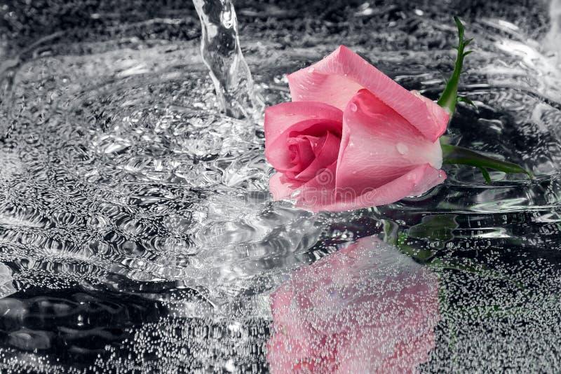 Rose tombant dans l'eau avec une éclaboussure et un pulvérisateur images stock