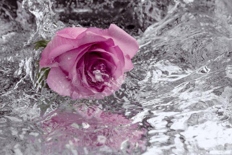 Rose tombant dans l'eau avec une éclaboussure et un pulvérisateur photo stock