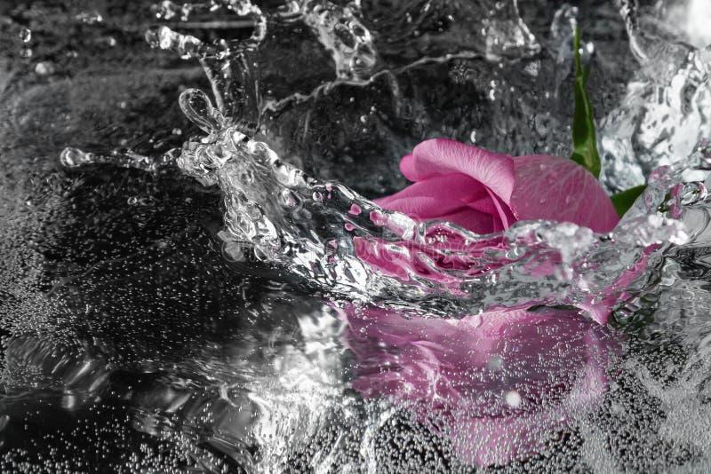 Rose tombant dans l'eau avec une éclaboussure et un pulvérisateur image libre de droits