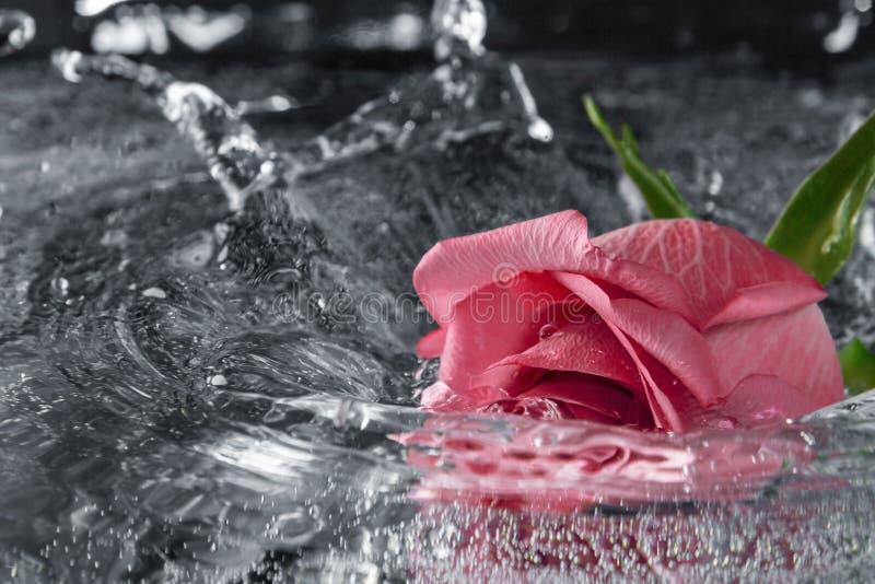 Rose tombant dans l'eau avec une éclaboussure et un pulvérisateur image stock