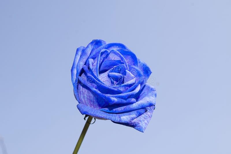 Rose très assez colorée au soleil image libre de droits