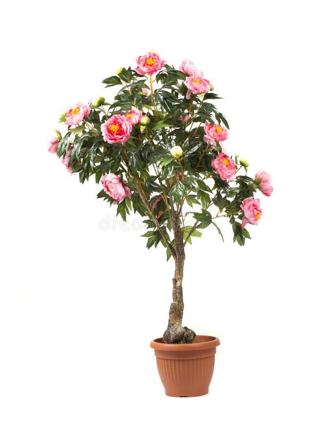 Rose tree i en kruka arkivfoton
