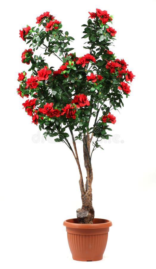 Rose tree in a pot. On white background royalty free stock photo