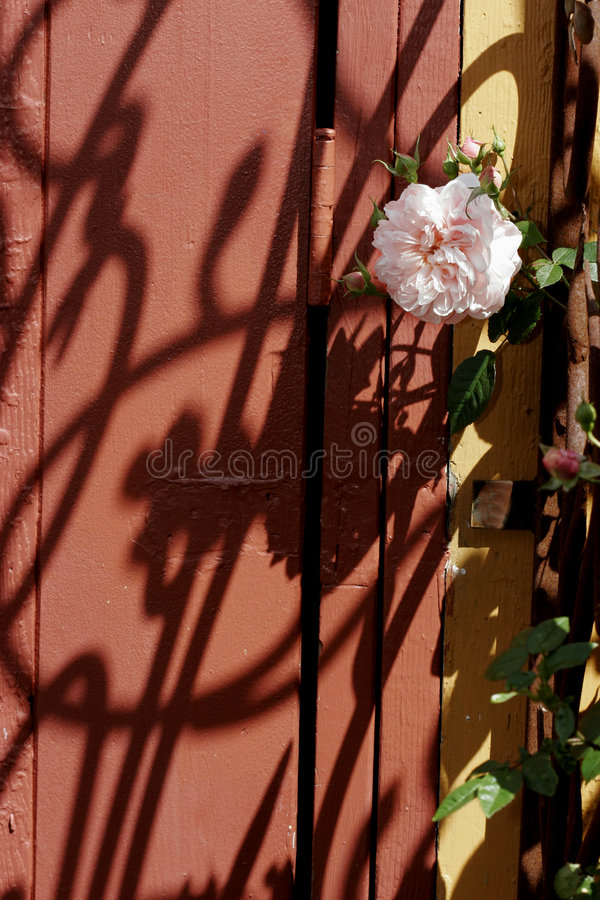 Rose on a trellis stock images