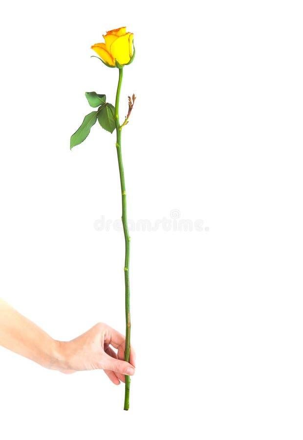 Rose trennte auf weißem Hintergrund lizenzfreie stockbilder