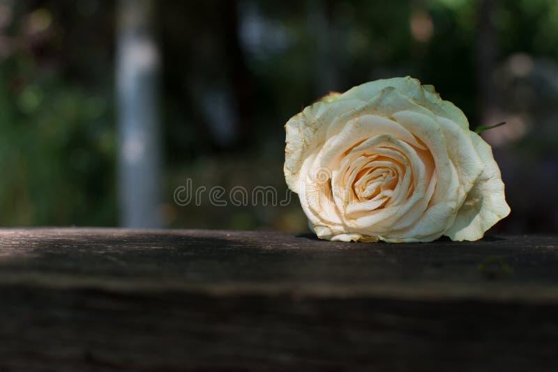Rose triste foto de archivo