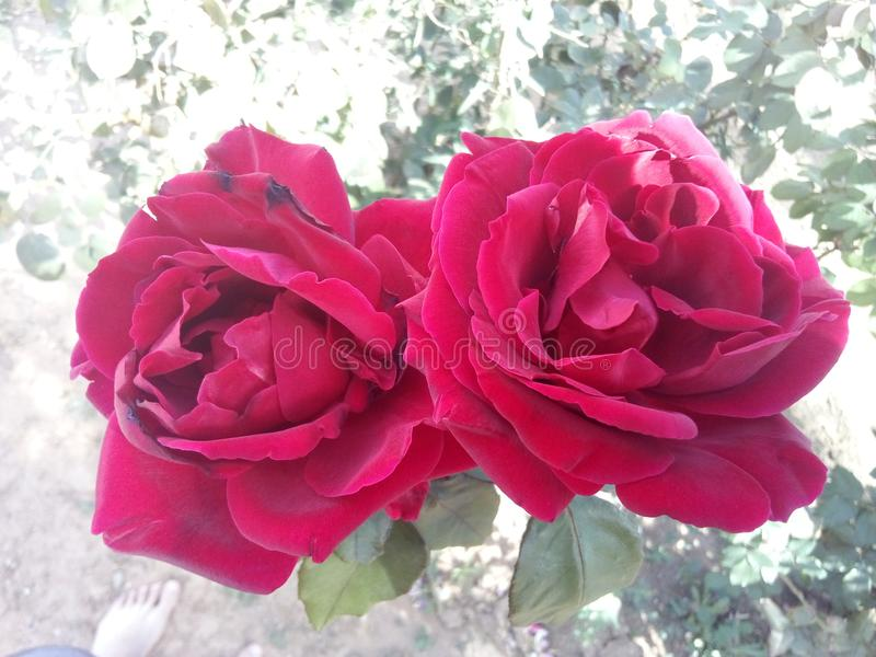 Rose Twins royalty free stock images