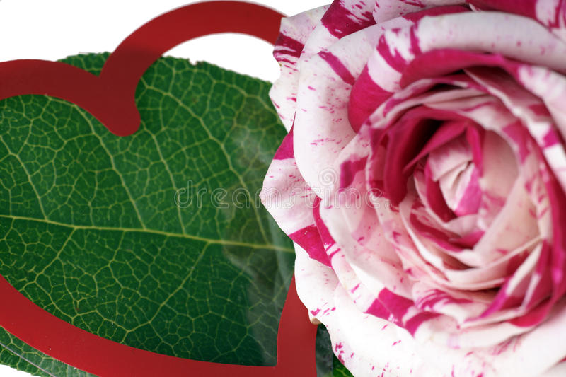Download Rose stock photo. Image of affection, romantic, romance - 39500180