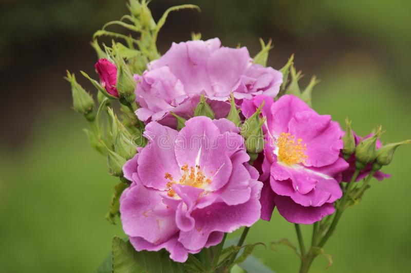 Two Rhapsody In Blue Roses In Full Bloom Stock Photo - Image