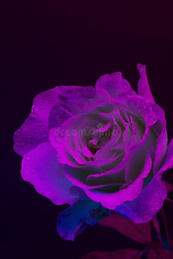 Rose ultra-violette photo libre de droits