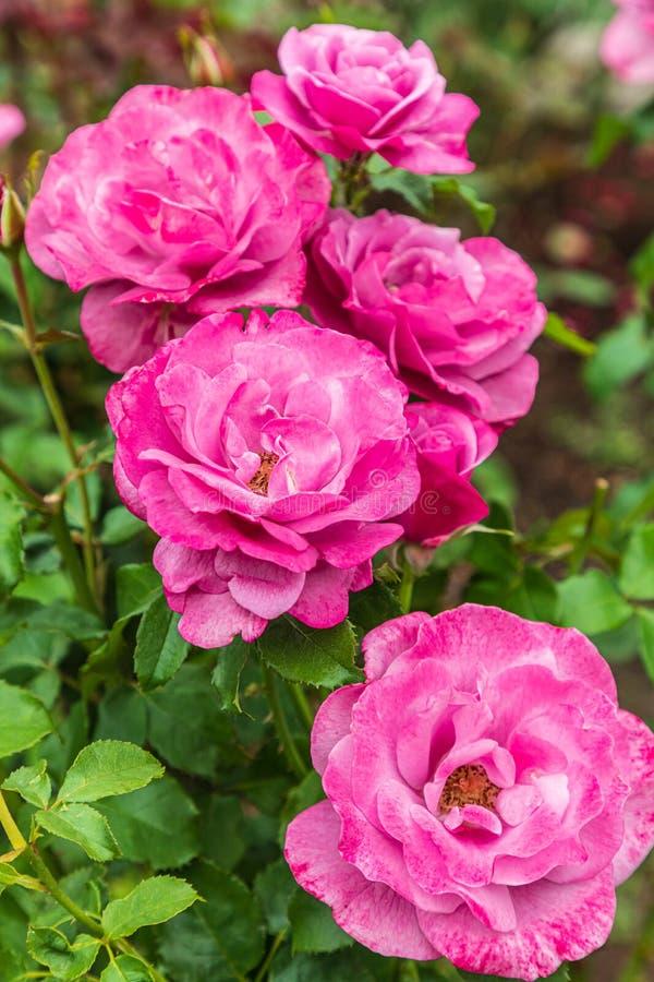 Rose in un giardino fotografie stock libere da diritti