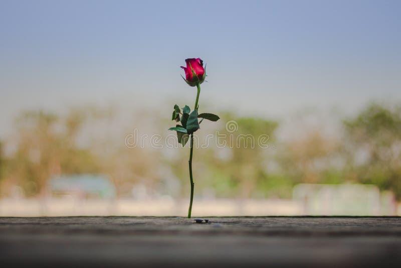 Rose un jour du ` s de velentine à l'école images libres de droits
