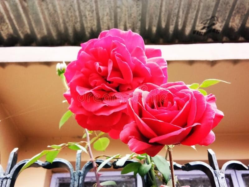Rose una flor hermosa imagen de archivo libre de regalías