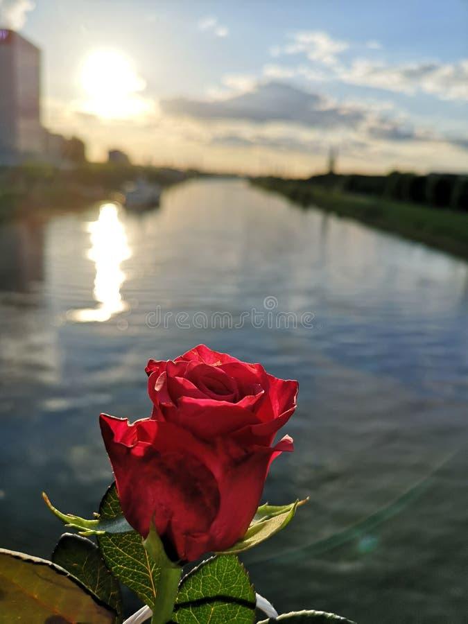 Rose und Fluss stockfotografie
