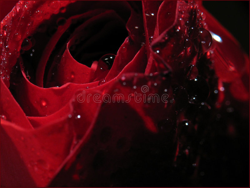 Rose under drops of a rain... royalty free stock image