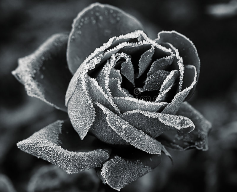 Rose under hoar-frost. B/W photo stock photography