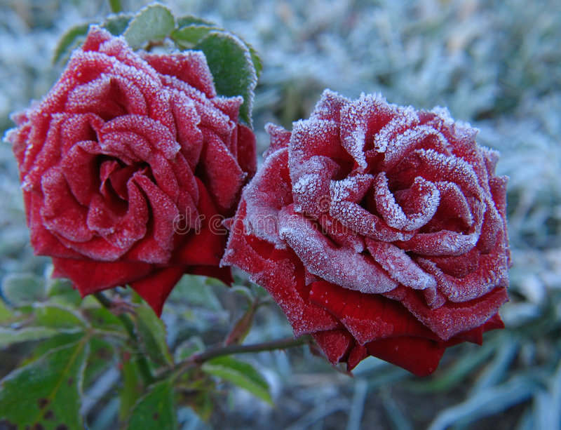 Rose unter Hoar-frost lizenzfreies stockfoto