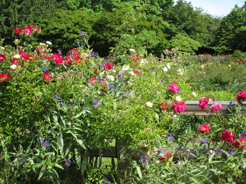 Rose variopinte attraenti luminose che fioriscono di estate alla regina Elizabeth Park Rose Garden immagini stock