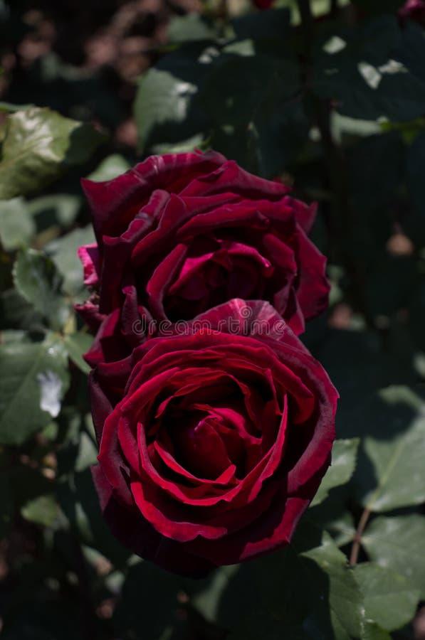 Rose variopinte belle di fioritura nel giardino immagini stock libere da diritti