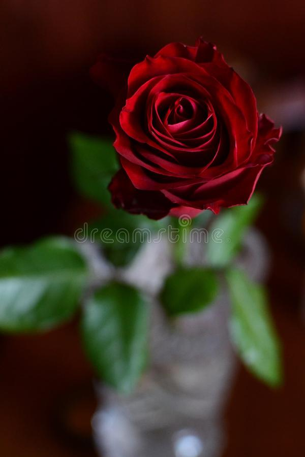 Rose in a vase royalty free stock photos